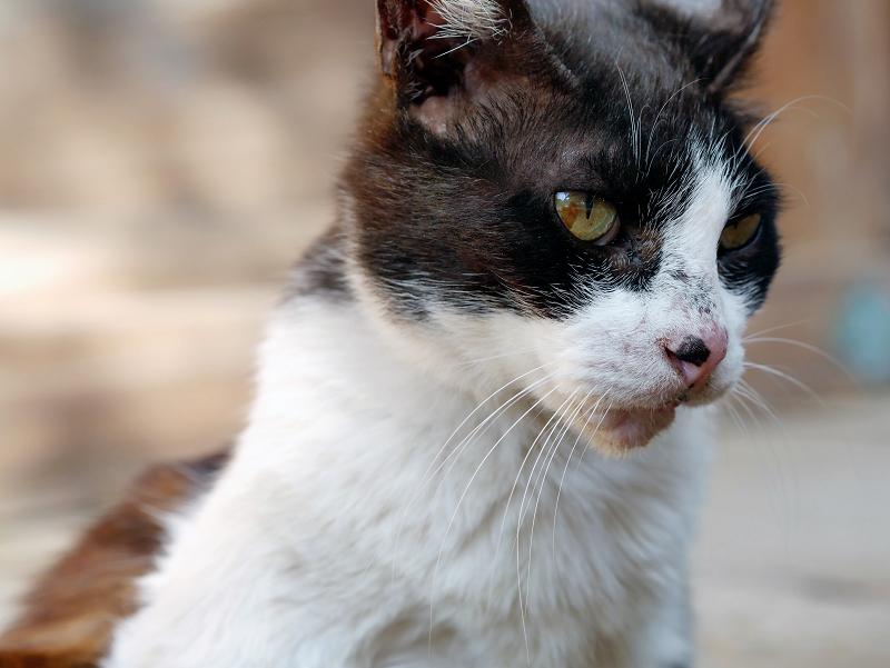 捻じりながら毛づくろいする黒白猫3