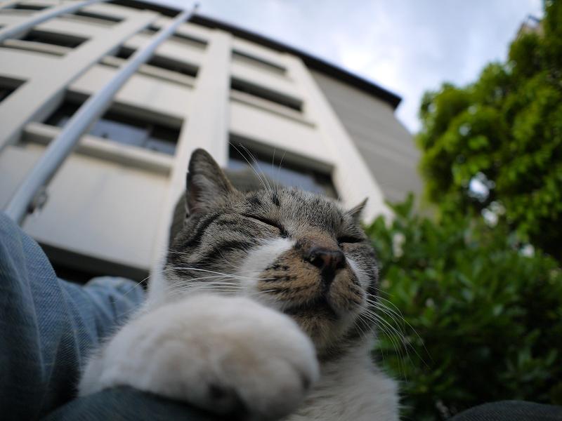 膝に乗って自撮り風のキジ白猫1