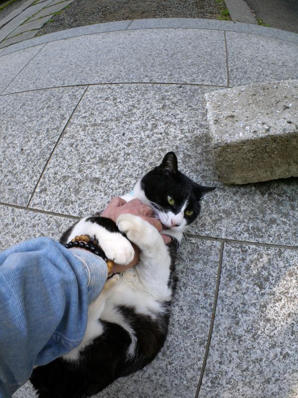 仰向けで暴れる黒白猫3