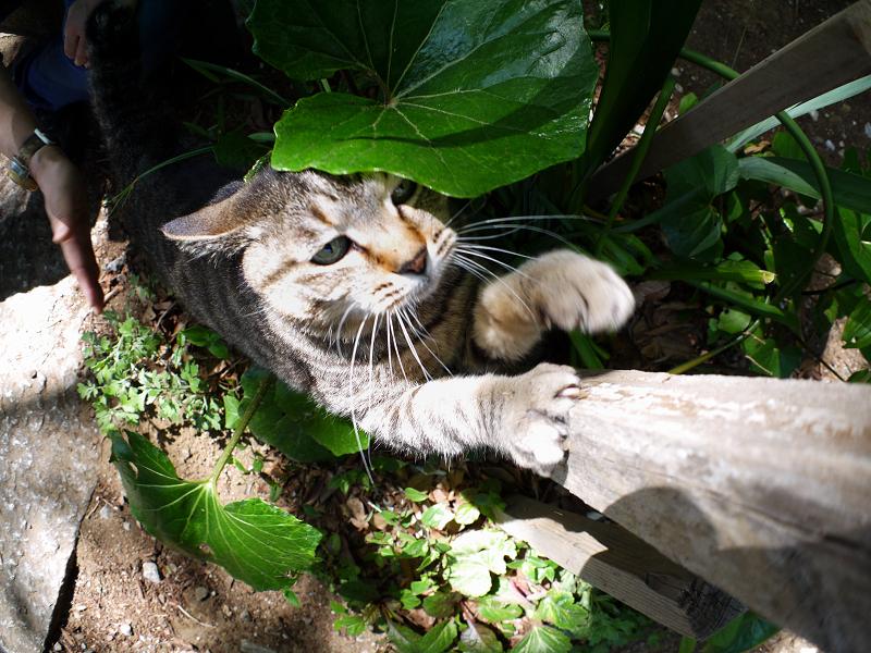 手を伸ばして爪を研ぐキジトラ猫1