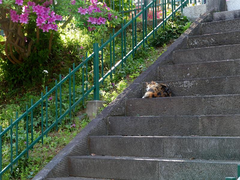 ツツジと階段と三毛猫1