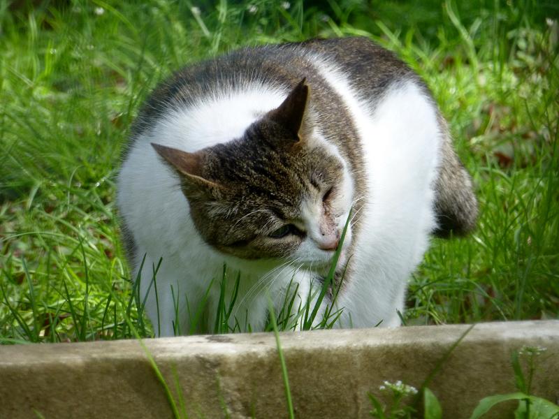 草を食べるキジ白猫1