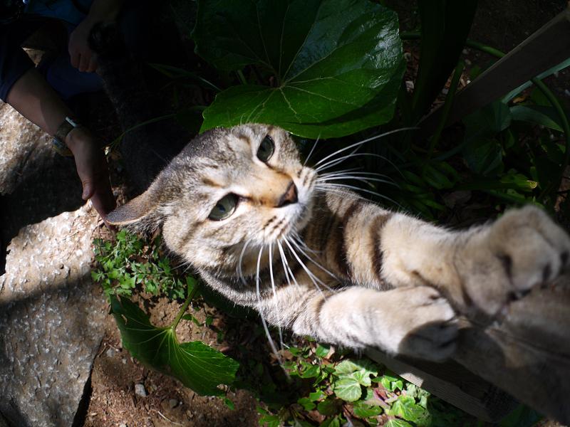 手を伸ばして爪を研ぐキジトラ猫2