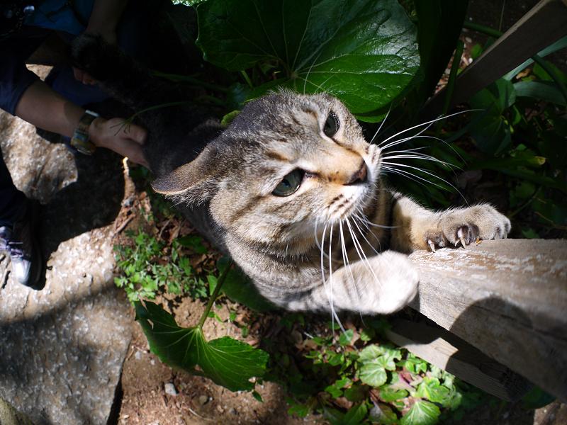 手を伸ばして爪を研ぐキジトラ猫3