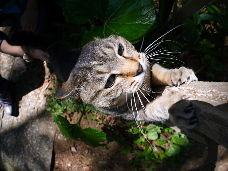 手を伸ばして爪を研ぐキジトラ猫4