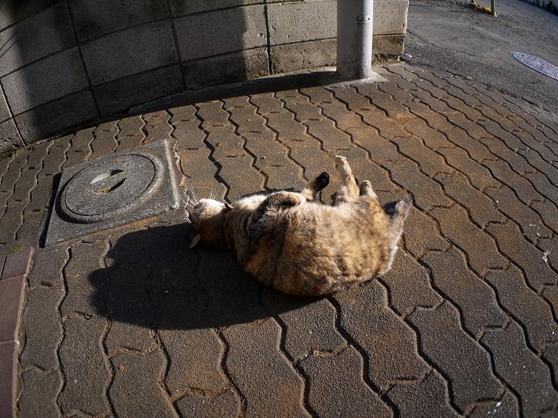 ゴロンと転がるキジトラ猫1
