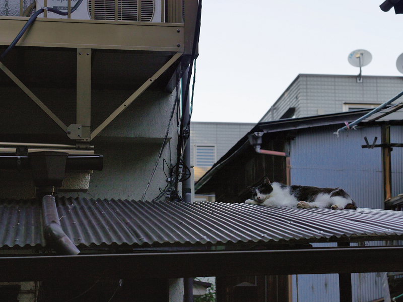 ビニール製屋根と黒白猫1