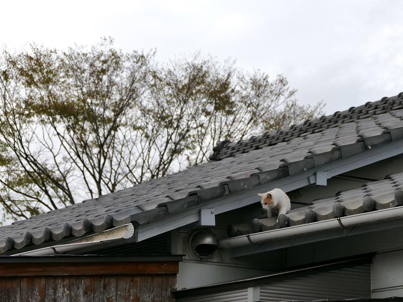 屋根から庇へ白茶猫1