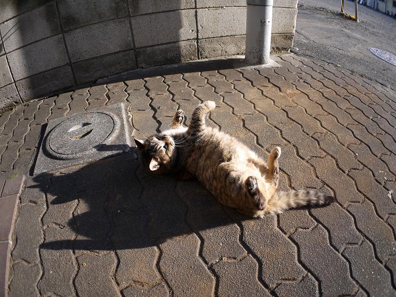 ゴロンと転がるキジトラ猫2
