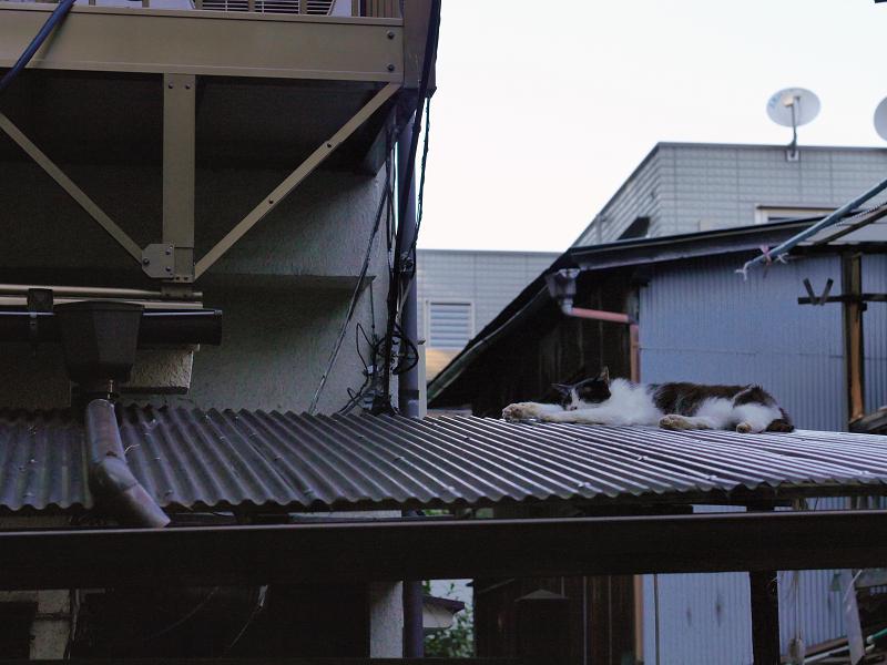 ビニール製屋根と黒白猫2