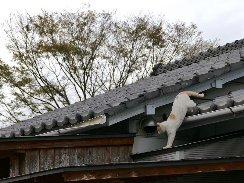 屋根から庇へ白茶猫2
