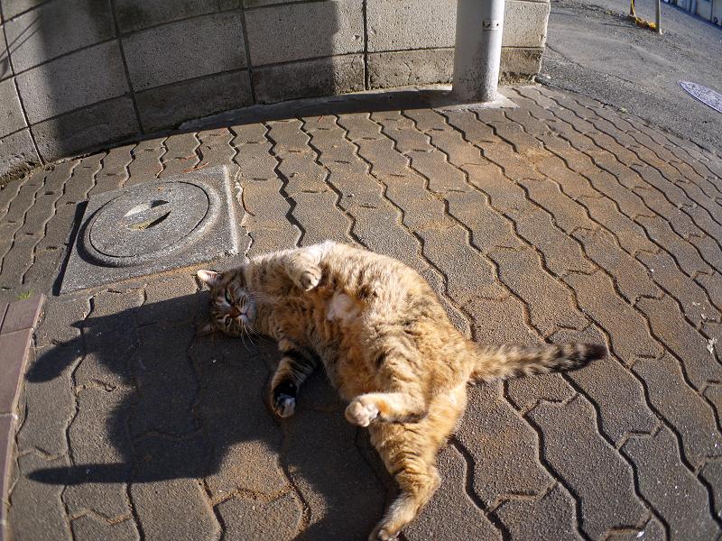 ゴロンと転がるキジトラ猫3