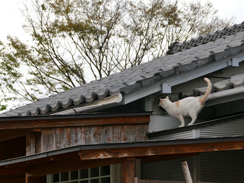 屋根から庇へ白茶猫3