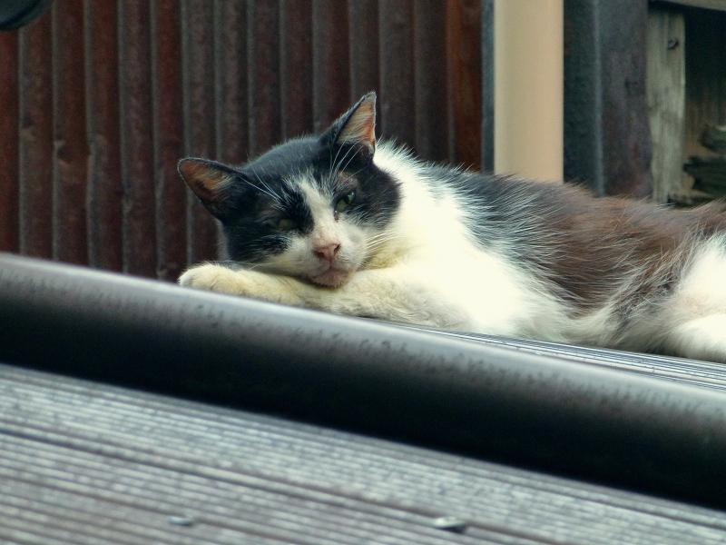 ビニール製屋根と黒白猫3