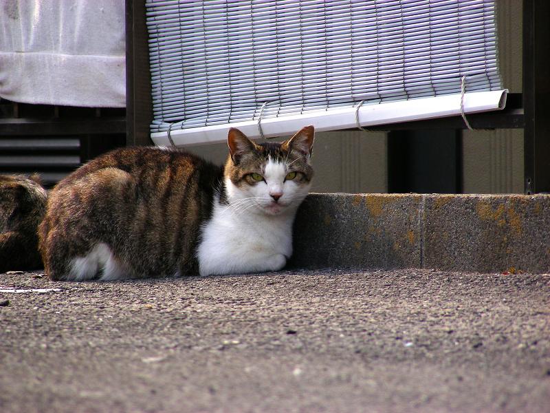青空ガレージのキジ白猫