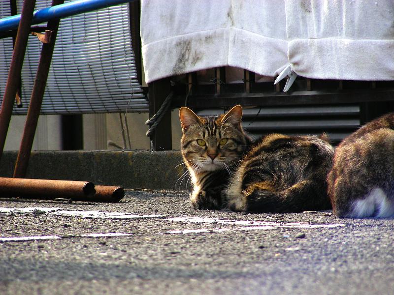 青空ガレージのキジトラ猫