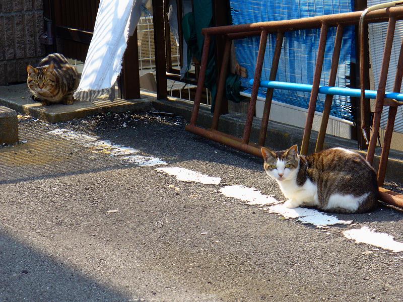 青空ガレージのキジ系の猫たち