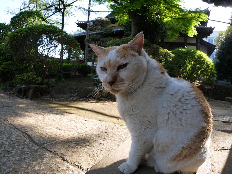 お堂前の白茶猫1