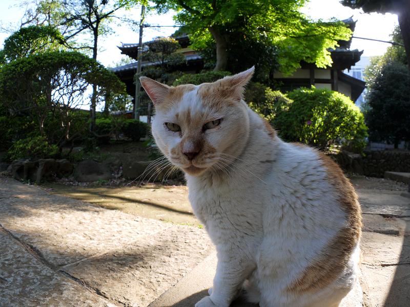 お堂前の白茶猫2