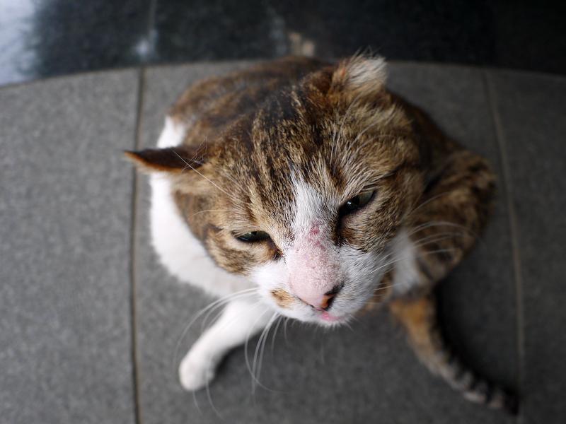 カキカキキジ白猫の広角ハイアングル3
