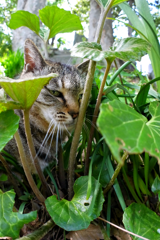蕗の葉とキジトラ猫1