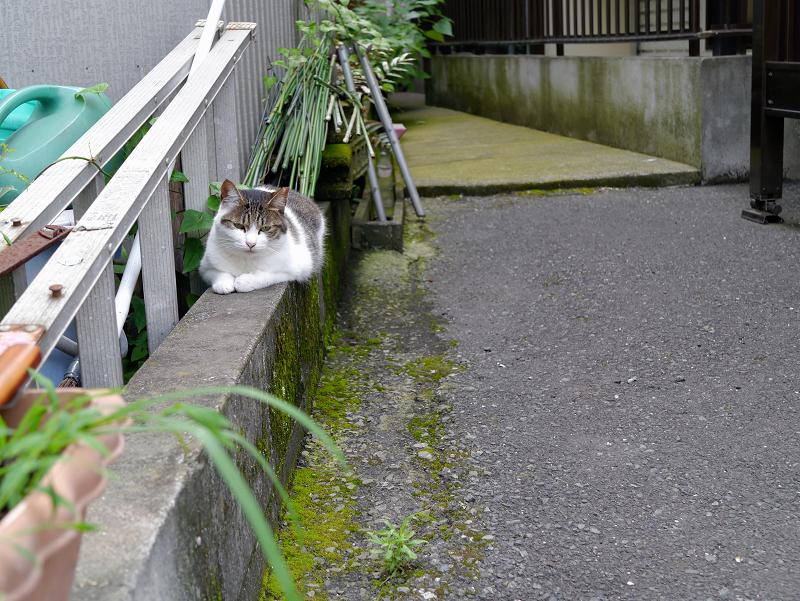 低いブロックに乗ってる白キジ猫1