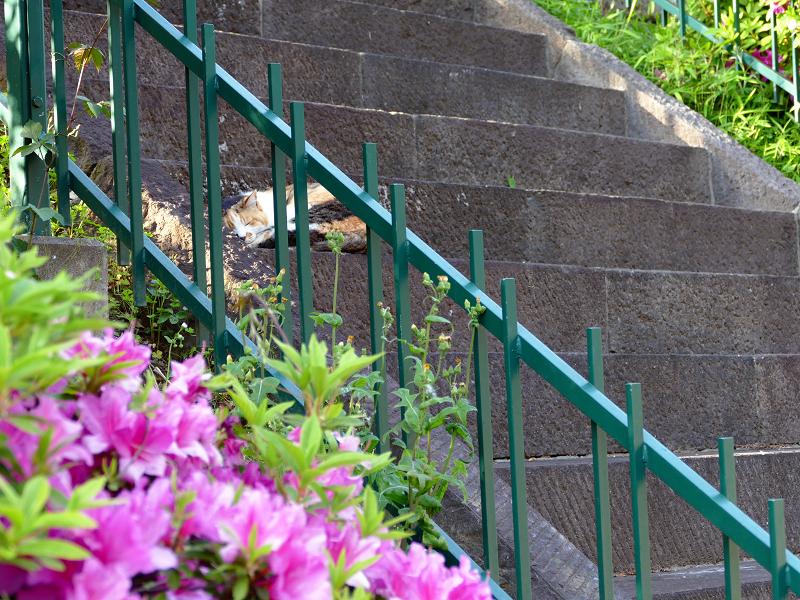 ツツジと階段と門と三毛猫1
