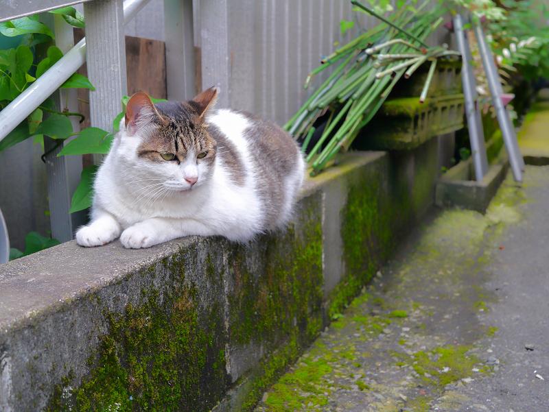 低いブロックに乗ってる白キジ猫2
