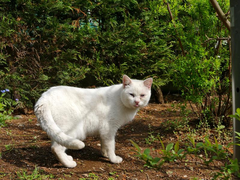 公園の白猫2