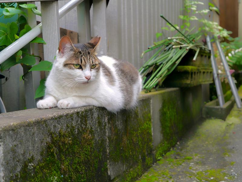 低いブロックに乗ってる白キジ猫3