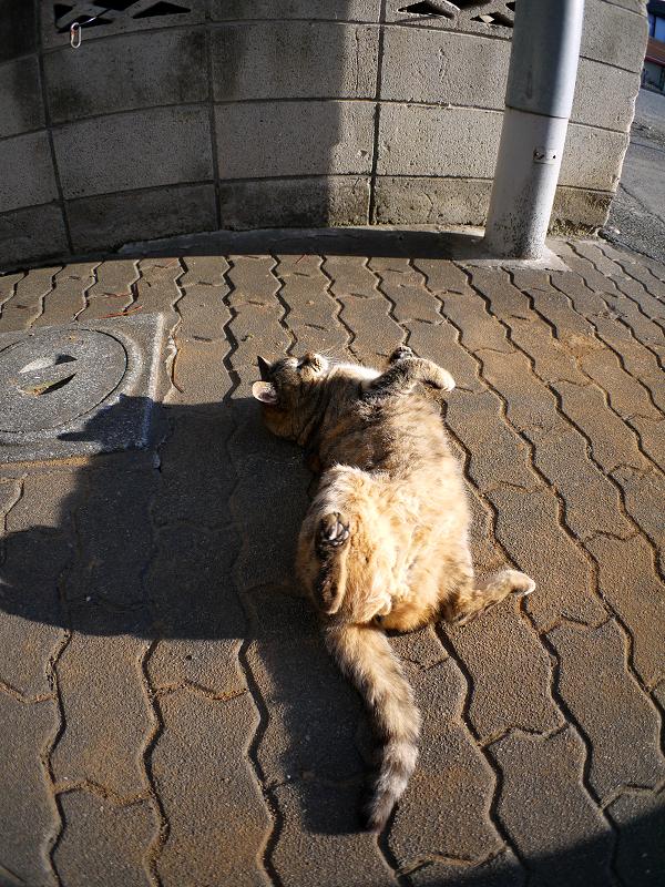 ゴロロンと転がるキジトラ猫1