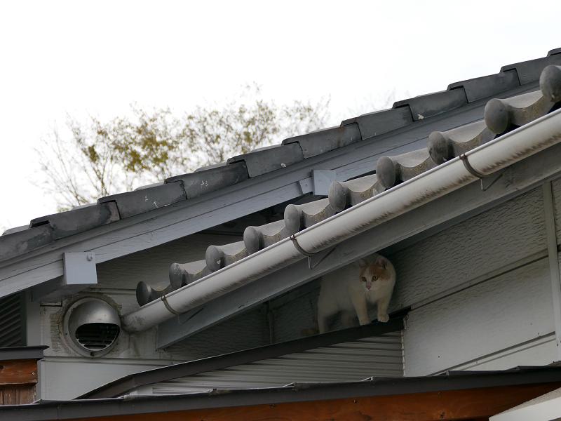 庇で遊ぶ白茶猫1