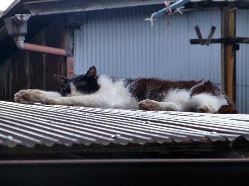 ビニールトタン屋根の黒白猫1