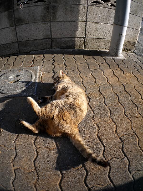 ゴロロンと転がるキジトラ猫2