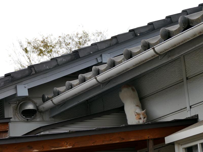 庇で遊ぶ白茶猫2