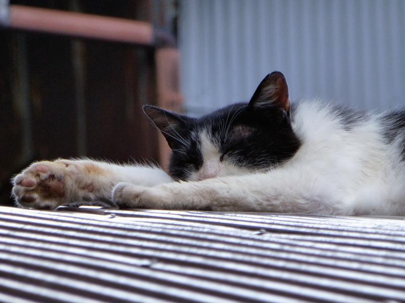 ビニールトタン屋根の黒白猫2