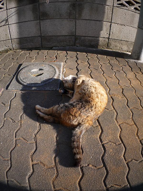 ゴロロンと転がるキジトラ猫3