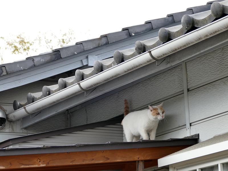庇で遊ぶ白茶猫3