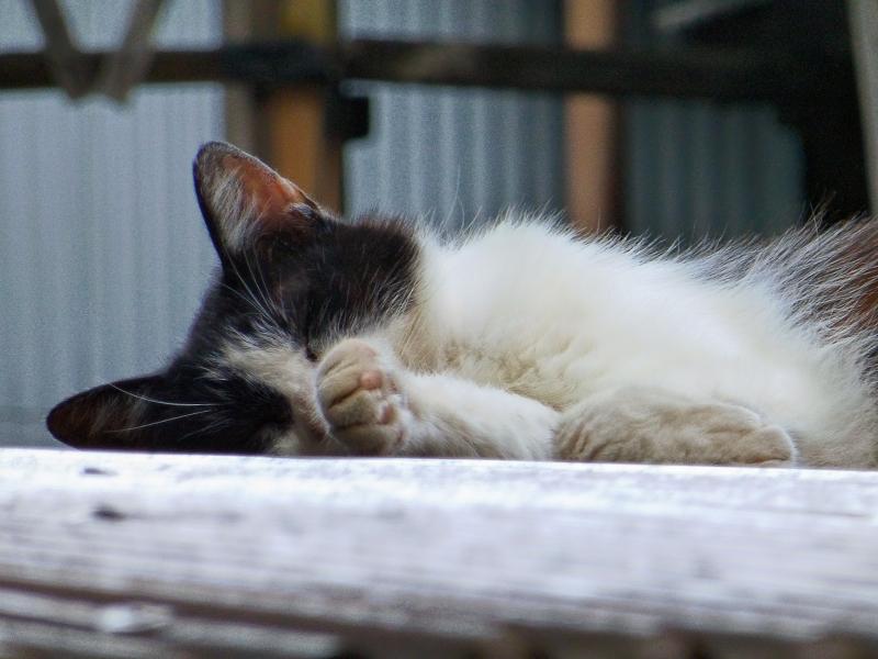 ビニールトタン屋根の黒白猫3