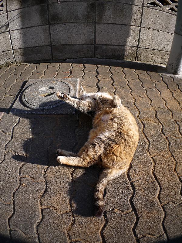 ゴロロンと転がるキジトラ猫4