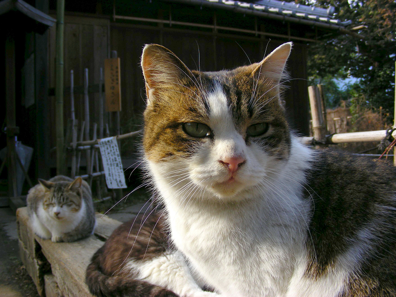いきなり目の前のキジ白猫