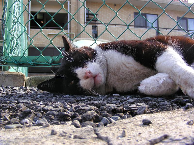 金網の前で横になってる黒白猫1