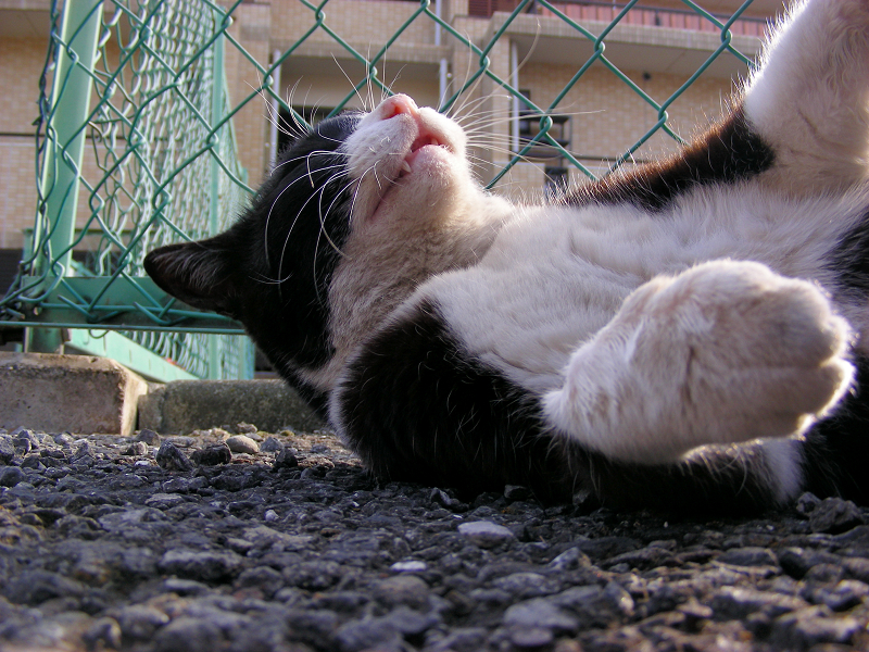 金網の前で横になってる黒白猫3