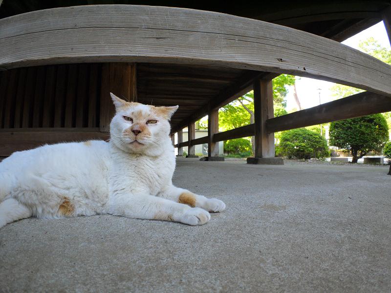 犬走りで寝る白茶猫1