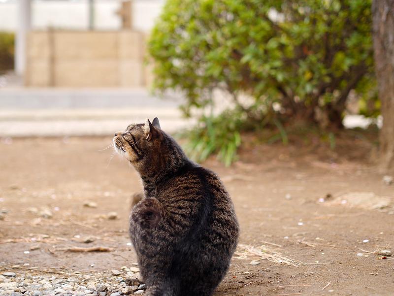 カキカキするキジトラ猫の後ろ姿1