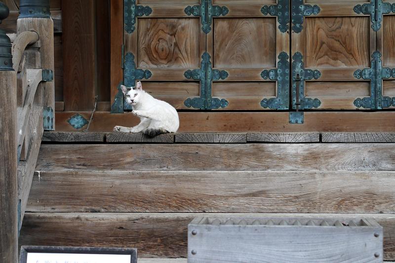 お堂前で毛づくろいする白キジ猫