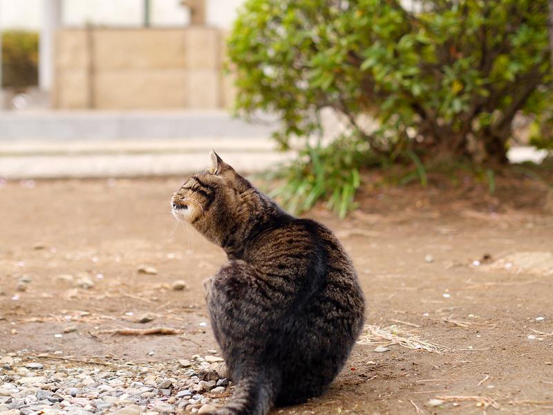 カキカキするキジトラ猫の後ろ姿2