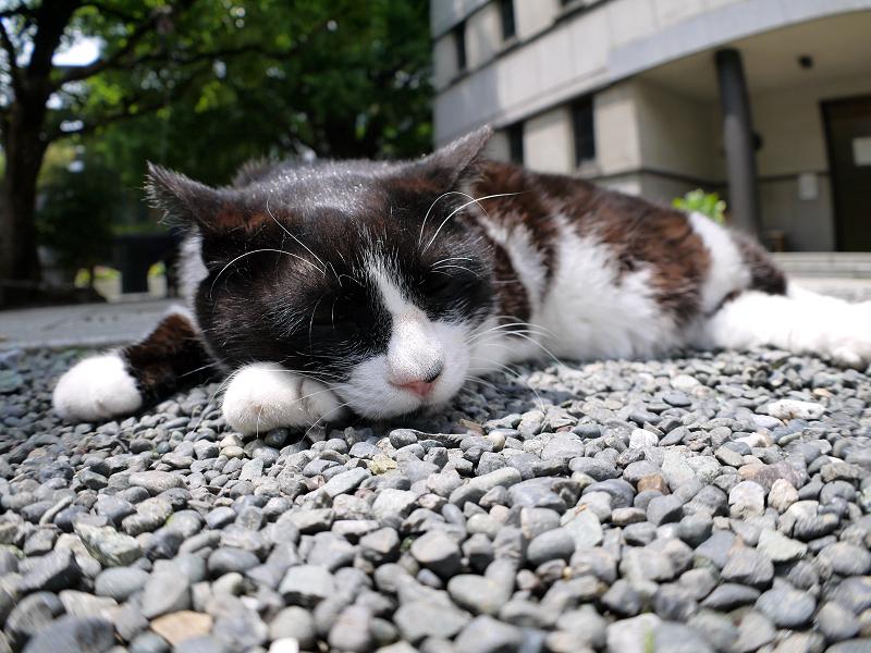境内玉砂利で寝ている黒白猫3