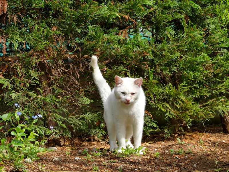 茂みに向かって尻尾を立ててる白猫1
