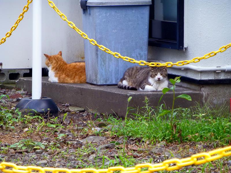 黄色チェーン越しの猫1